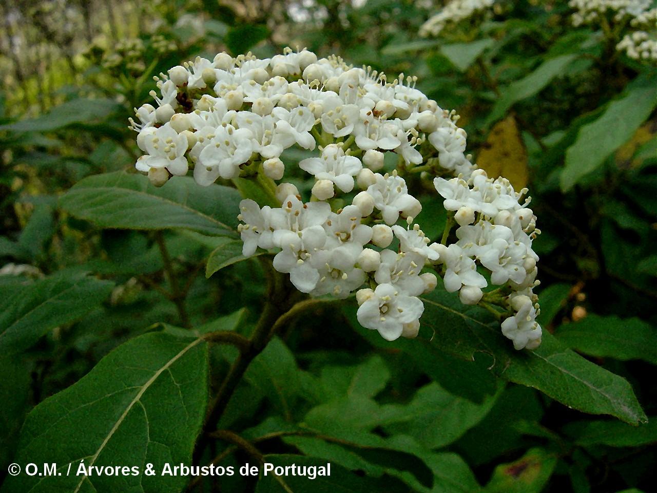 folhado-viburnum-tinus-flores-1