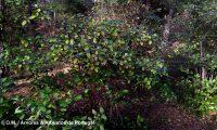 hábito de folhado, frutos - Viburnum tinus