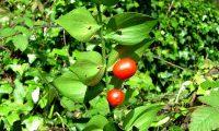 frutos de gilbardeira - Ruscus aculeatus