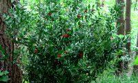 hábito da gilbardeira no meio florestal - Ruscus aculeatus