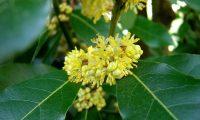 floração masculina do loureiro – Laurus nobilis