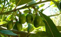 frutos imaturos de loureiro – Laurus nobilis