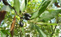 frutos maduros do loureiro – Laurus nobilis