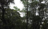 hábito florestal do loureiro – Laurus nobilis
