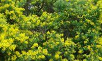 floração das pascoinhas, aspecto-parcial - Coronilla valentina subsp. glauca