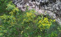 pascoinhas no meio natural - Coronilla valentina subsp. glauca