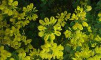 coroas de flores da pascoinhas - Coronilla glauca