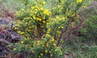 hábito flloração das pascoinhas - Coronilla valentina