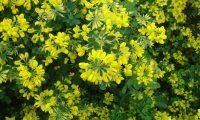 aspecto parcial, floracão da pascoinhas - Coronilla glauca