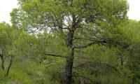 hábito adulto de pinheiro-de-alepo – Pinus halepensis