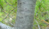 ritidoma acizentado e liso de um jovem pinheiro-de-alepo – Pinus halepensis