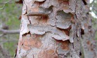 ritidoma de pinheiro-de-alepo jovem – Pinus halepensis