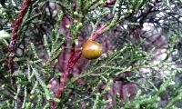gálbula da sabina-da-praia – Juniperus turbinata subsp. turbinata