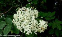 flores de sabugueiro, candeleiro, galacrista, canineiro – Sambucus nigra