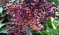corimbo de frutos, bagas em maturação do sabugueiro, candeleiro – Sambucus nigra