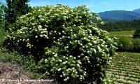 floração, sabugueiro – Sambucus nigra