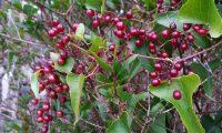 frutos imaturos de salsaparrilha, alegra-campo, alegação - Smilax aspera
