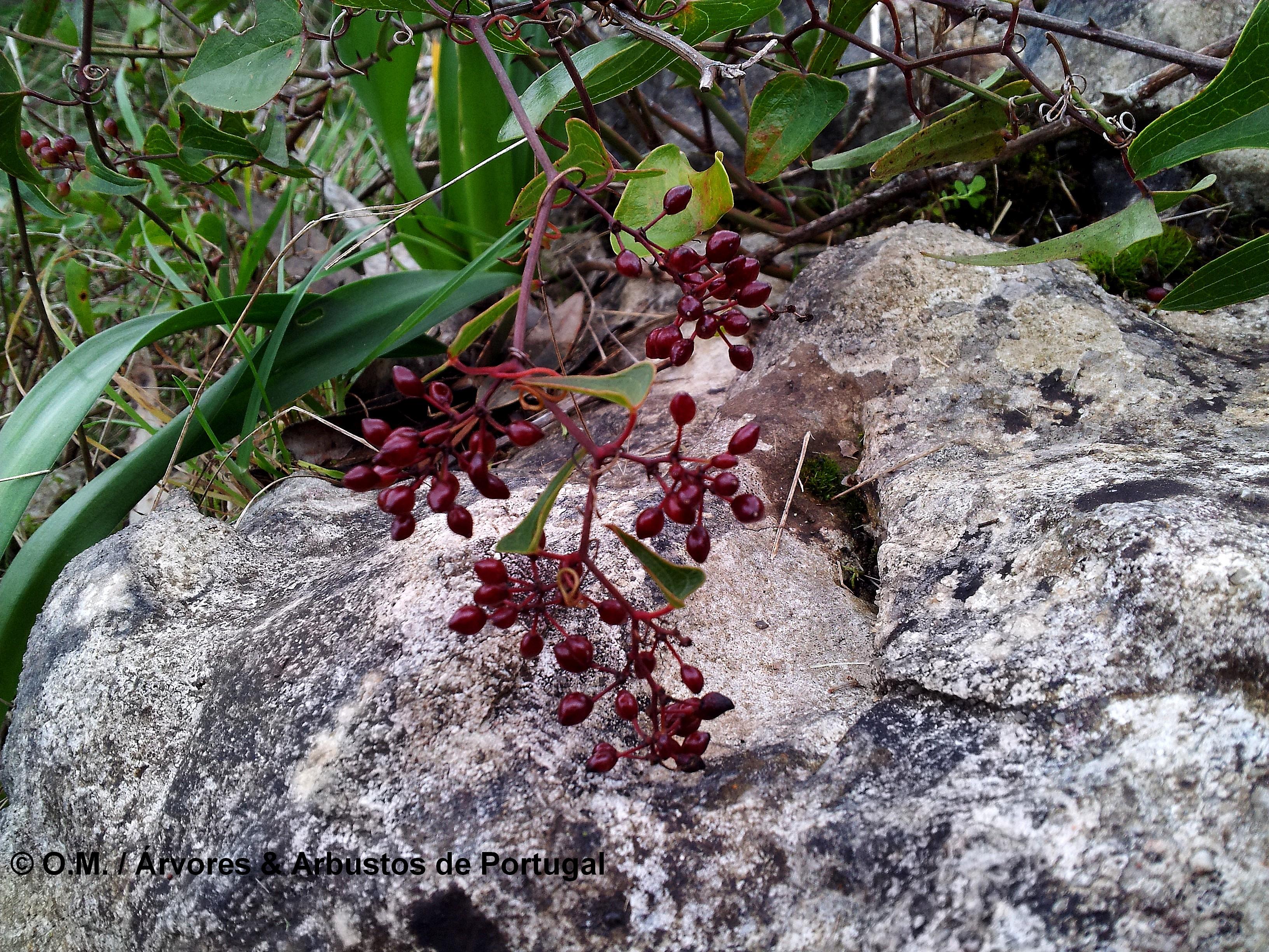 bagas ou frutos em formação de salsaparrilha, alegra-campo, alegação - Smilax aspera