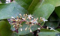botões e flores masculinas de salsaparrilha, alegação - Smilax aspera