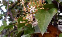 flores masculinas e botões de salsaparrilha, alegra-campo - Smilax aspera