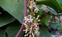 flores masculinas de salsaparrilha, alegra-campo, alegação - Smilax aspera