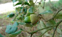 bolota imatura de sobreiro, sobro - Quercus suber