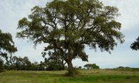 copa de sobreiro, sobro isolado - Quercus suber