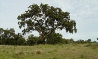 hábito de sobreiro isolado - Quercus suber
