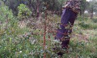 aspecto do tronco parcialmente descortiçado de sobreiro, sobro - Quercus suber