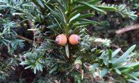 frutos imaturos de teixo – Taxus baccata