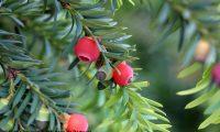 arilos maduros, frutos de teixo – Taxus baccata