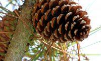pinha de pinheiro-bravo - Pinus pinaster