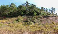 orla de pinhal de pinheiro-bravo - Pinus pinaster