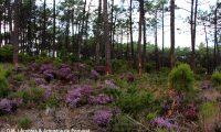 pinhal de pinheiro-bravo e subcoberto constituído por urzal - Pinus pinaster