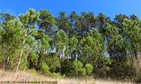 pinhal de pinheiro-bravo em formação natural - Pinus pinaster