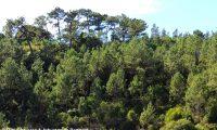 pinhal espontâneao de pinheiro-bravo - Pinus pinaster