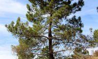 hábito de pinheiro-bravo - Pinus pinaster