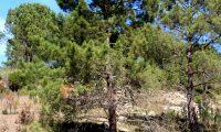 hábito isolado de pinheiro-bravo - Pinus pinaster