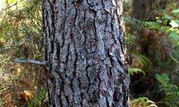 tronco com ritidoma característico de pinheiro-bravo - Pinus pinaster