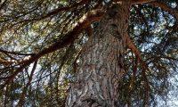 tronco e pernadas de pinheiro-manso – Pinus pinea