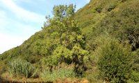 hábito de freixo – Fraxinus angustifolia