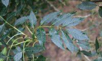página superior composta do freixo – Fraxinus angustifolia