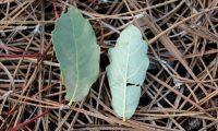 folhas de carvalhiça - Quercus lusitanica