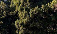 hábito de teixo – Taxus baccata