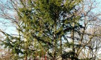 hábito de teixo, meio florestal – Taxus baccata