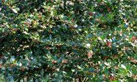 azevinho feminino com bagas - Ilex aquifolium