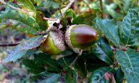 bolotas de carvalhiça, carvalho-anão - Quercus lusitanica