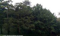 bosquete de teixos – Taxus baccata