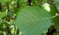 página inferior de aveleira – Corylus avellana
