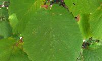 página superior de aveleira – Corylus avellana